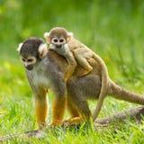 Junger Affe auf der Rückseite es ist Mutter Stockbild