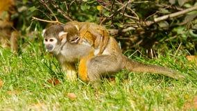 Junger Affe auf der Rückseite es ist Mutter Stockfotos