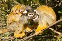 Junger Affe auf der Rückseite es ist Mutter Stockbilder
