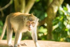 Junger Affe auf einer Tropeninsel, Bali, Indonesien Stockfoto