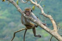 Junger Affe, der auf dem Baum sich entspannt. Lizenzfreies Stockfoto
