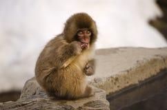 Junger Affe, der auf einem Stock kaut Stockfotografie