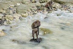 Junger Affe, der auf Stein steht Lizenzfreies Stockbild