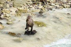 Junger Affe, der auf Steinstrand steht Stockfoto