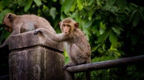 Junger Affe, der auf Wand klettert Lizenzfreie Stockbilder