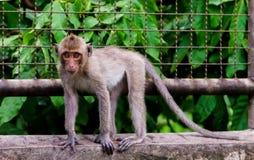 Junger Affe, der auf Wand klettert Lizenzfreies Stockfoto