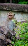 Junger Affe, der Blatt isst Stockfotos
