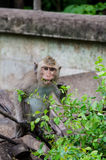 Junger Affe, der Blatt isst Stockfoto