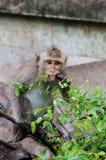 Junger Affe, der Blatt isst Lizenzfreie Stockbilder