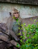 Junger Affe, der grünes Blatt isst Lizenzfreie Stockbilder