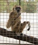 Junger Affe in einem Käfig in einem Zoo in Pattaya am Nachmittag Stockfoto