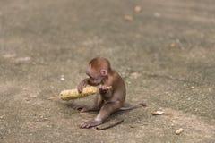 Junger Affe essen Mais Stockfoto