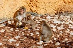 Junger Affe mit der Mutter, die auf Steinen sitzt Stockbild