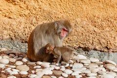 Junger Affe mit der Mutter, die auf Steinen sitzt Stockfoto