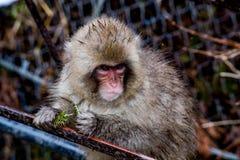 Junger Affe mit Kiefernnadeln Lizenzfreie Stockfotos