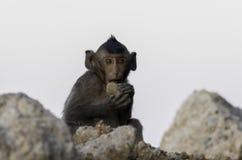 Junger Affe sitzen auf dem Felsen und Essenfelsen Stockbild