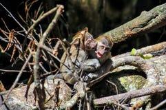 Junger Affe Sumatran Maqaque, der mit einander kämpft Lizenzfreies Stockbild