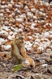 Junger Affe und Kokosnuss Lizenzfreies Stockfoto