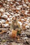 Junger Affe und viel Kokosnuss Stockfotografie