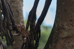Junger Affeaufstieg der Baum Lizenzfreies Stockbild