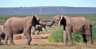 Junger Afrikaner-Stier-Elefant-Sparring Lizenzfreie Stockbilder
