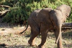 Junger afrikanischer Elefant   Lizenzfreie Stockfotografie