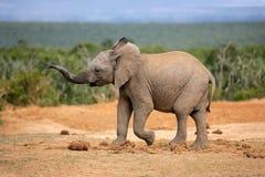 Junger afrikanischer Elefant stockfoto