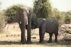 Junger afrikanischer Elefant berührt seine Mutter Lizenzfreies Stockbild