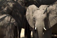 Junger afrikanischer Elefant des Portraits Lizenzfreie Stockfotografie