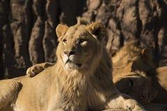 Junger afrikanischer Löwe, der beim Familienstolz liegt stockbilder
