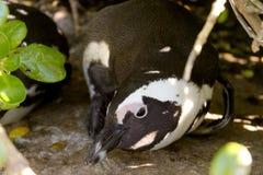 Junger afrikanischer Pinguin, Südafrika Stockfoto