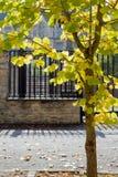 Junger Ahornbaum auf der Straße mit gelben Blättern Lizenzfreie Stockbilder