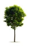 Junger Ahornholz-Baum Stockbild