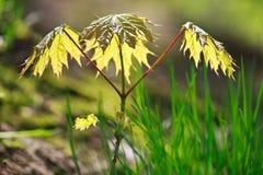 Junger Ahornholzbaum im Frühjahr Stockfotos