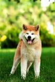 Junger Akita-inu Hund, der draußen auf grünem Gras steht Stockfotos