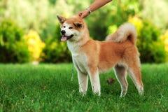 Junger Akita-inu Hund, der draußen auf grünem Gras steht Stockfotografie
