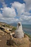 Junger Albatros, der die Kamera betrachtet Lizenzfreie Stockbilder