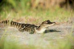 Junger Alligator Stockbild