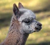 Junger Alpaka ` s Kopf lizenzfreies stockbild