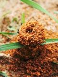 Junger Ameisenhaufen wird wachsen Lizenzfreies Stockbild