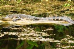 Kleiner amerikanischer Alligator Stockfotos