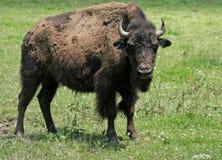 Junger amerikanischer Bison mit voller Aufmerksamkeit Lizenzfreie Stockfotografie
