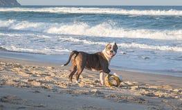 Junger amerikanisches Staffordshire-Terrier, der auf dem Strand spielt lizenzfreie stockfotos