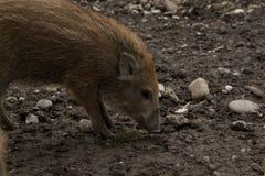 Junger Anfänger des einzelnen Eberwildschweins in der organischen respektvollen Liebkosung stockfoto