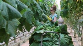 Junger Angestellter zerreißt weg Blätter von Gurken kultiviert im landwirtschaftlichen Betrieb stock video
