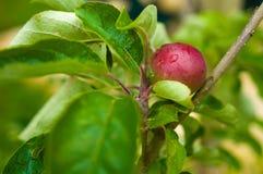 Junger Apfel auf einem Zweig Stockfotos