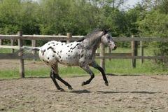 Junger Appaloosapferd Stallion, der frei galoppiert Lizenzfreie Stockfotos