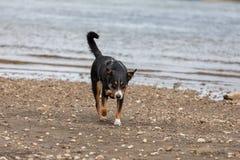 Junger appenzeller Gebirgshund, der in dem Fluss spielt stockfotos
