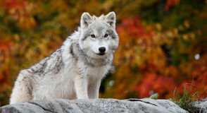 Junger arktischer Wolf, der die Kamera betrachtet stockbild