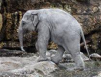Junger asiatischer Elefant Stockfotografie